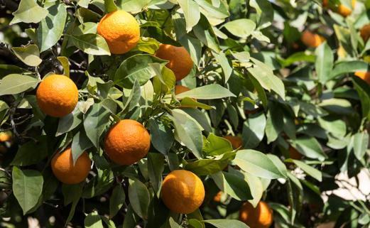 Energia elettrica prodotta dalle arance